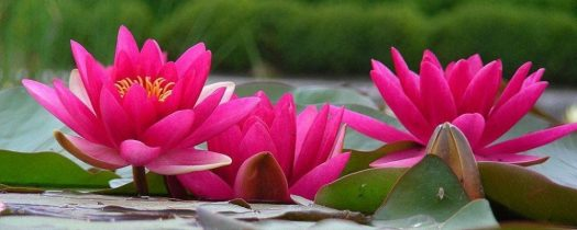 cropped-lotus-sq21.jpg
