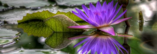 cropped-purple-lotus.jpg