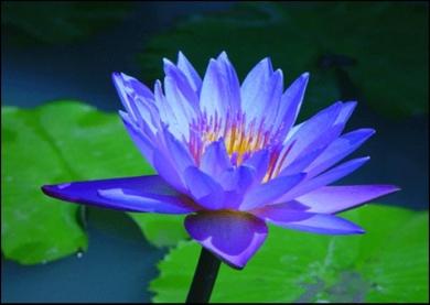 Blue_lotus_flower