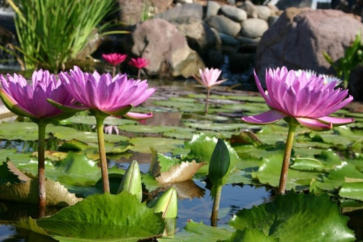 Tropical-Water-Lilies
