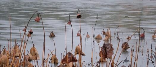 winter lotus