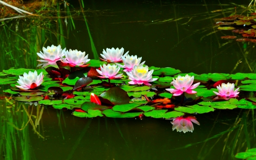 quorum image lotus-pond