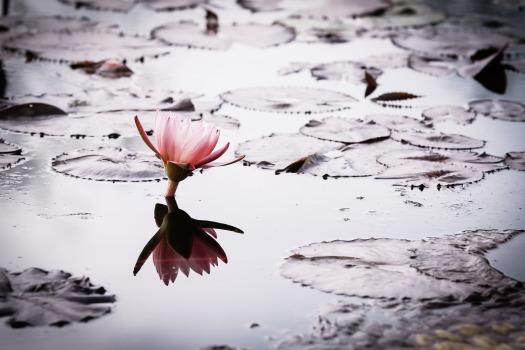 lotus-2154146_1920(1)